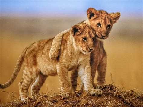 Brotherly Love Lion Cubs Photo Animals From Savannah
