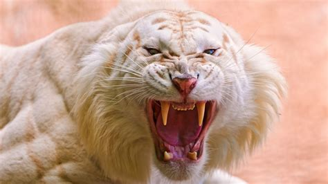 Roaring White Tiger Wallpapers   HD Wallpapers   ID #17388