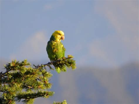 Are Wild Parrots Roosting in Your Backyard? - South
