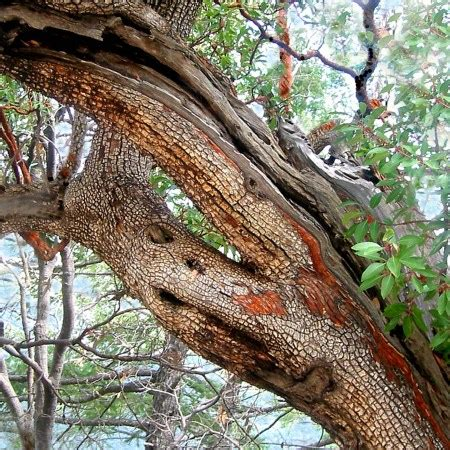 Alligator Junipers–my new favorite tree in New Mexico
