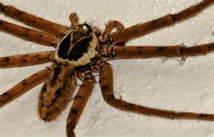 """Large Furry Brown Spider, 1-2"""" body, 5"""" total, sporting"""