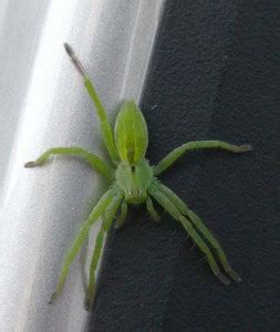 Green Huntsman Spider from Israel - What's That Bug?
